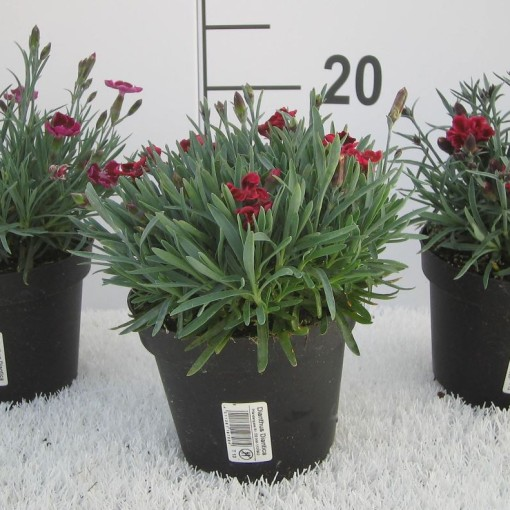 Dianthus DIANTICA MIX (Experts in Green)
