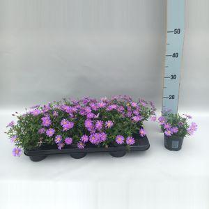 Brachyscome BRASCO VIOLET (Sonneveld Plants)