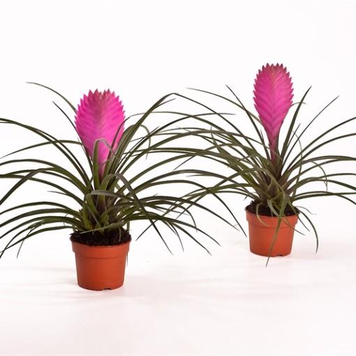 Tillandsia cyanea 'Anita' (Bunnik Plants)