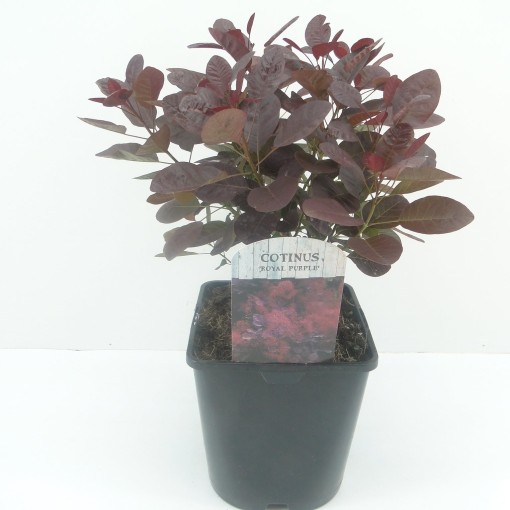 Cotinus coggygria 'Royal Purple' (Hooftman boomkwekerij)