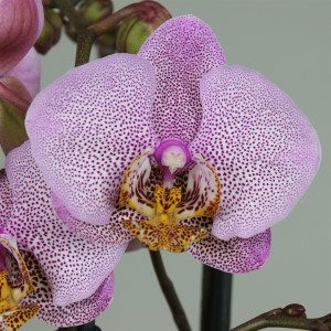 Phalaenopsis ANTHURA MANHATTAN