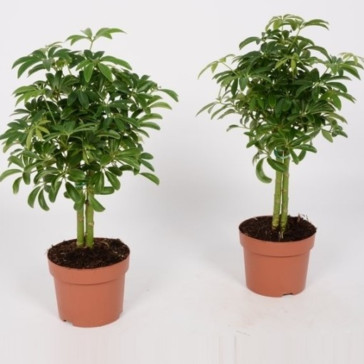 Schefflera arboricola 'Luseana' (Bunnik Plants)