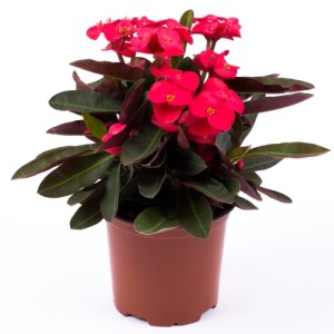 Euphorbia ZEUS