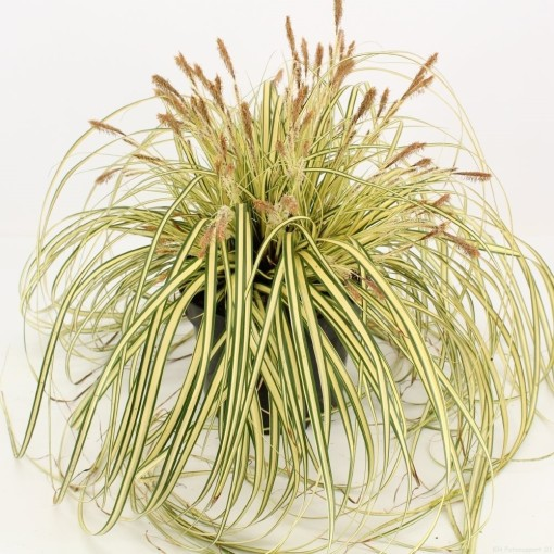 Carex oshimensis 'Evergold' (Snepvangers Tuinplanten BV)