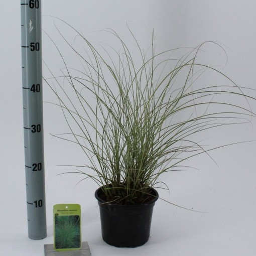 Miscanthus sinensis 'Morning Light' (About Plants Zundert BV)