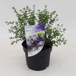 Ceanothus 'Blue Sensation' (Dool Botanic)