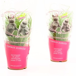 Cyperus alternifolius 'Zumula'