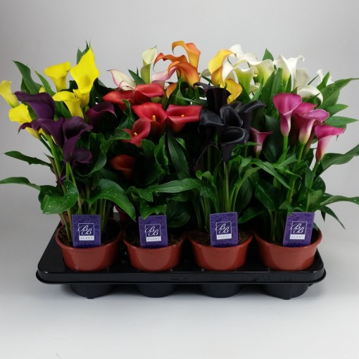 Zantedeschia MIX (BB Plant)