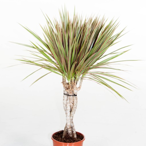 Dracaena bicolor (Ammerlaan, The Green Innovater)