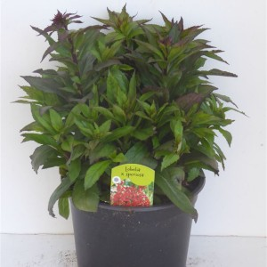 Lobelia x speciosa MIX (Experts in Green)
