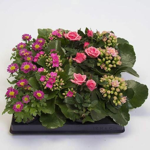 Houseplants MIX ROSE (Gasa DK)