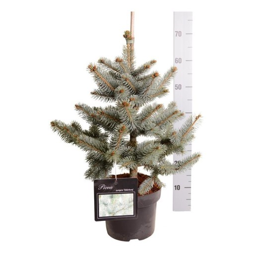 Picea pungens 'Oldenburg' (Boomkamp Boomkwekerijen B.V.)