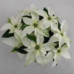 Euphorbia pulcherrima PRINCETTIA MAX WHITE (Bas van der Wilt)