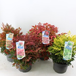 Nandina domestica MIX