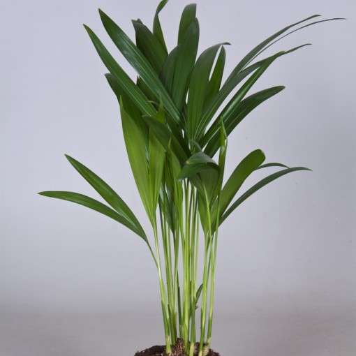 Dypsis lutescens (Nolina Kwekerijen B.V.)