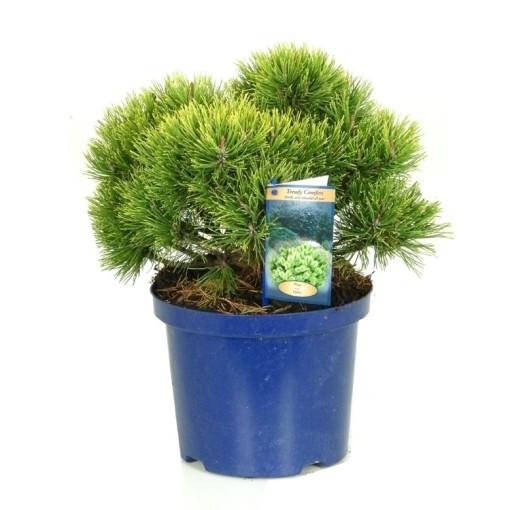 Pinus mugo 'Ophir' (Vredebest, Kwekerij )