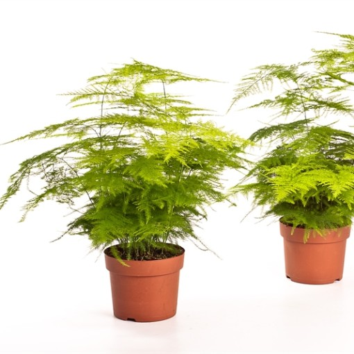 Asparagus setaceus (Bunnik Plants)