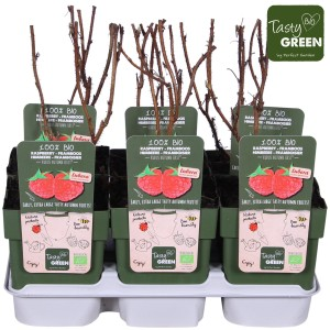 Rubus idaeus PRIMEBERRY AUTUMN FIRST (Hoogeveen Plants)