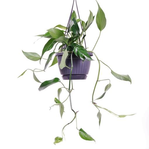 Epipremnum pinnatum (Van der Arend Tropical Plantcenter)