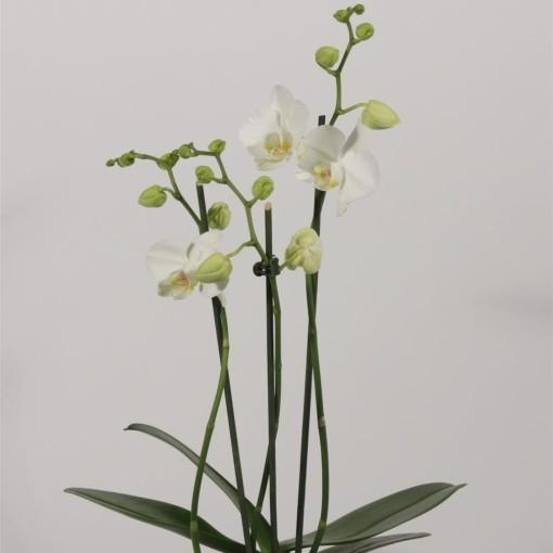 Phalaenopsis 'Tropic Snowball' (Duijn-Hove B.V. , Kwekerij)