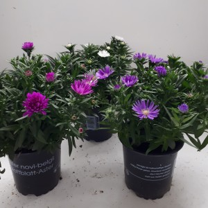 Aster NOVI-BELGII MIX (Experts in Green)