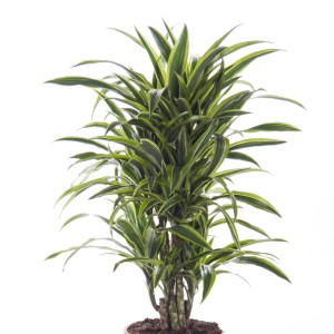 Dracaena fragrans 'Lemon Lime' (Ammerlaan )