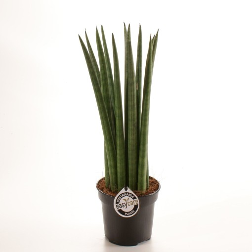 Sansevieria cylindrica 'Straight' (Feldborg A/S)