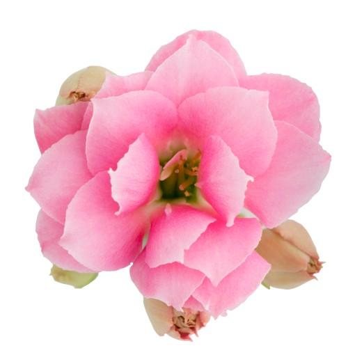 Kalanchoe blossfeldiana ROSE FLOWERS HEIDI (Queen - Knud Jepsen a/s)