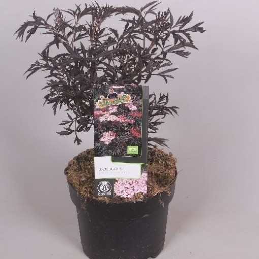 Sambucus nigra BLACK LACE (Jesper Mathot Potcultures)
