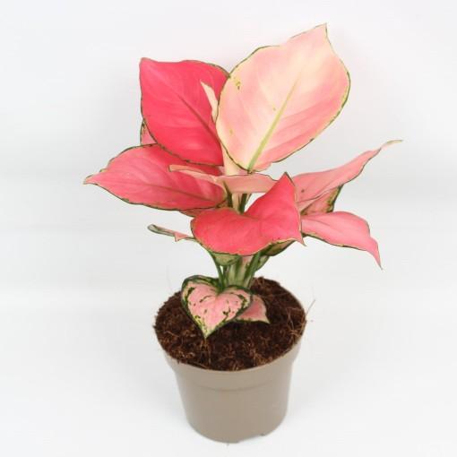 Aglaonema PINK STAR (Lansbergen Orchids)