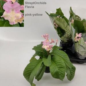 Streptocarpus 'Flavia' (Hofstede Hovaria)