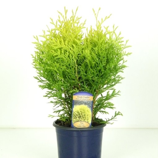 Thuja occidentalis 'Golden Globe' (Vredebest, Kwekerij)