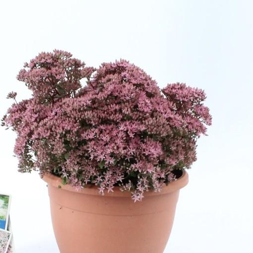 Sedum 'Jade Tuffet' (About Plants Zundert BV)