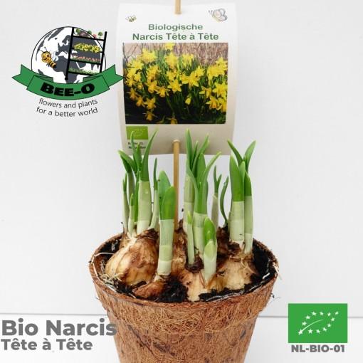 Narcissus 'Tête-à-Tête' (Bee-O)