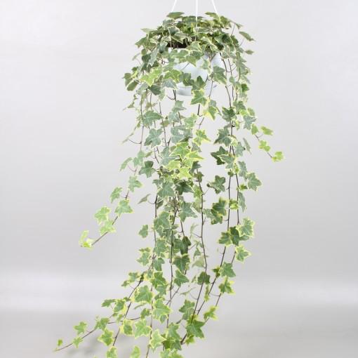 Hedera helix 'Goldchild' (Vireõ Plant Sales)