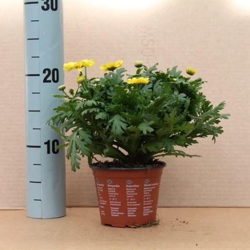 Argyranthemum frutescens 'Butterfly' (Dehne Topfpflanzen)