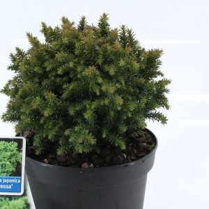 Cryptomeria japonica 'Compressa' (About Plants Zundert BV)