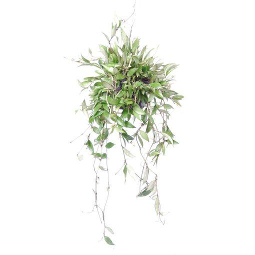 Hoya lacunosa (Van der Arend Tropical Plantcenter)