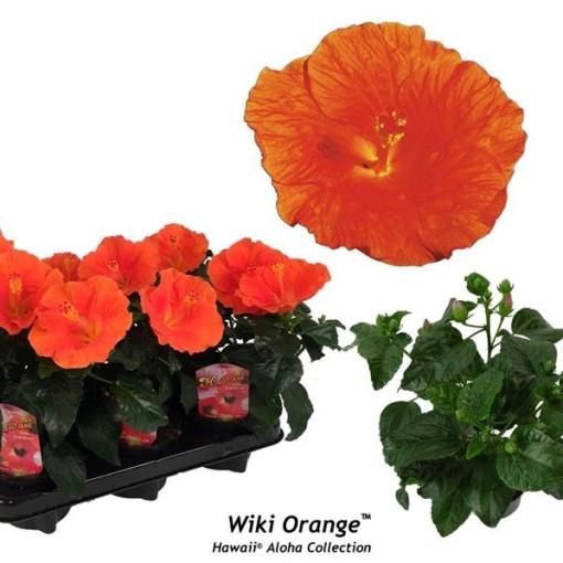 Hibiscus rosa-sinensis 'Wiki Orange' (Gasa DK)
