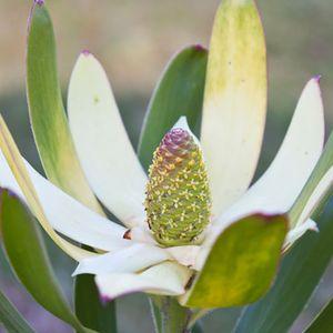 Leucadendron 'Sunshine'
