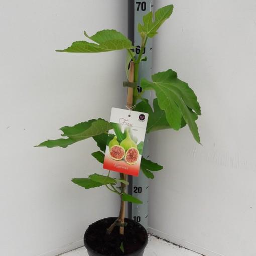 Ficus carica (Specials-1)