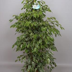 Ficus benjamina 'Golden King'