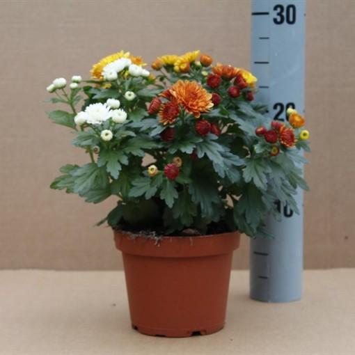 Chrysanthemum MIX (Dehne Topfpflanzen)