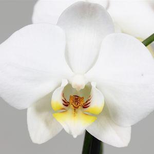 Phalaenopsis ANTHURA BRISTOL