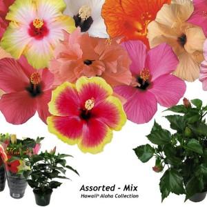 Hibiscus rosa-sinensis 'Aloha Hawaii'
