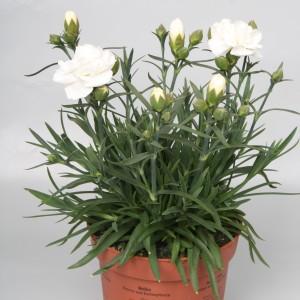 Dianthus SUNFLOR EDBERG