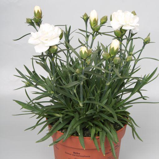 Dianthus SUNFLOR EDBERG (Rodon Rolff B.V.)