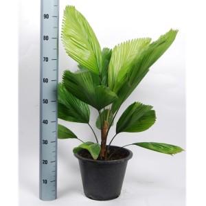 Licuala grandis (Van der Arend Tropical Plantcenter)