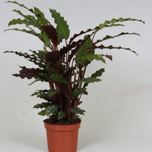 Calathea rufibarba 'Tropistar' (Groot BV, Kwekerij J. de)