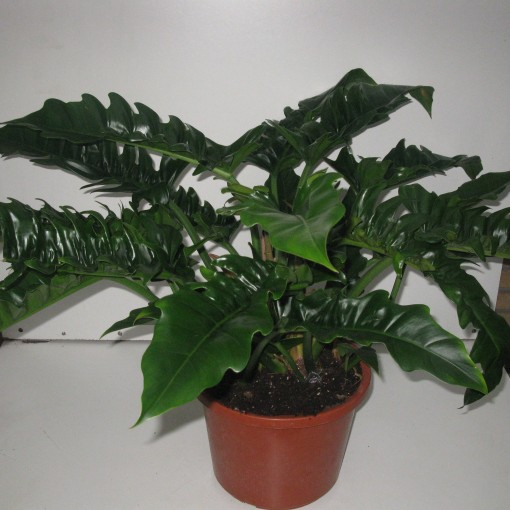 Philodendron 'Narrow' (Snoeker)